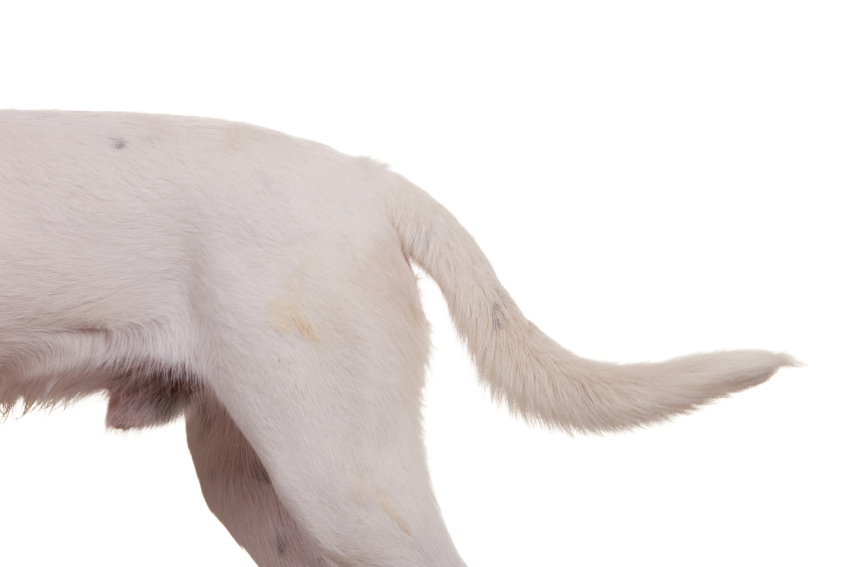 Dog Hindquarters wagging tail